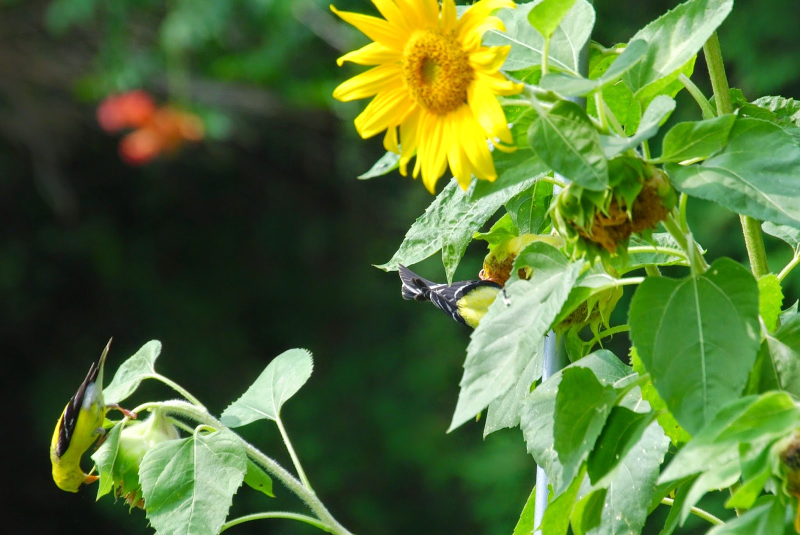 birds enjoying sunflower
