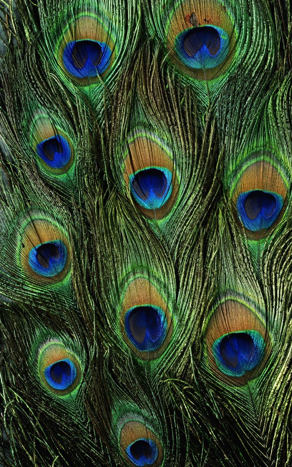 amazing peacock ipad background wallpapers free ipad