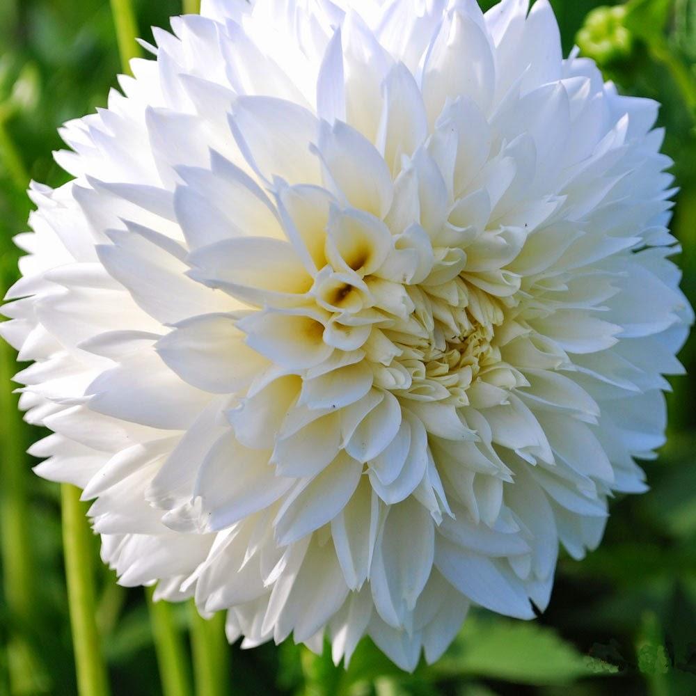 http://www.rosecottageplants.co.uk/dahlia-myama-fubuki/p468