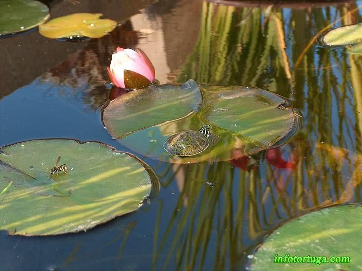 Juvenil en un estanque al aire libre