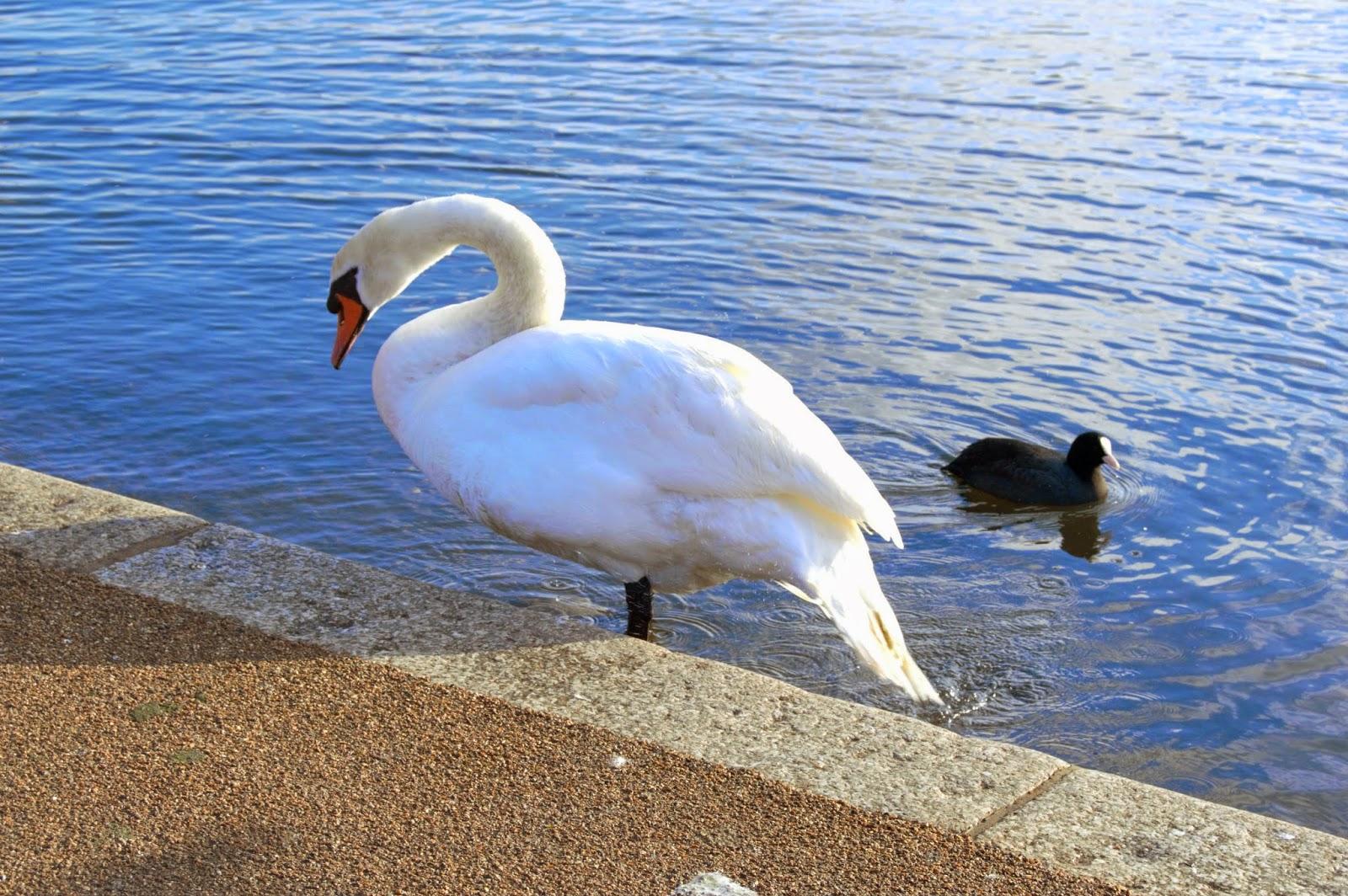 Swan in Kensington Gardens