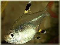 X-Ray Tetra Fish Pictures