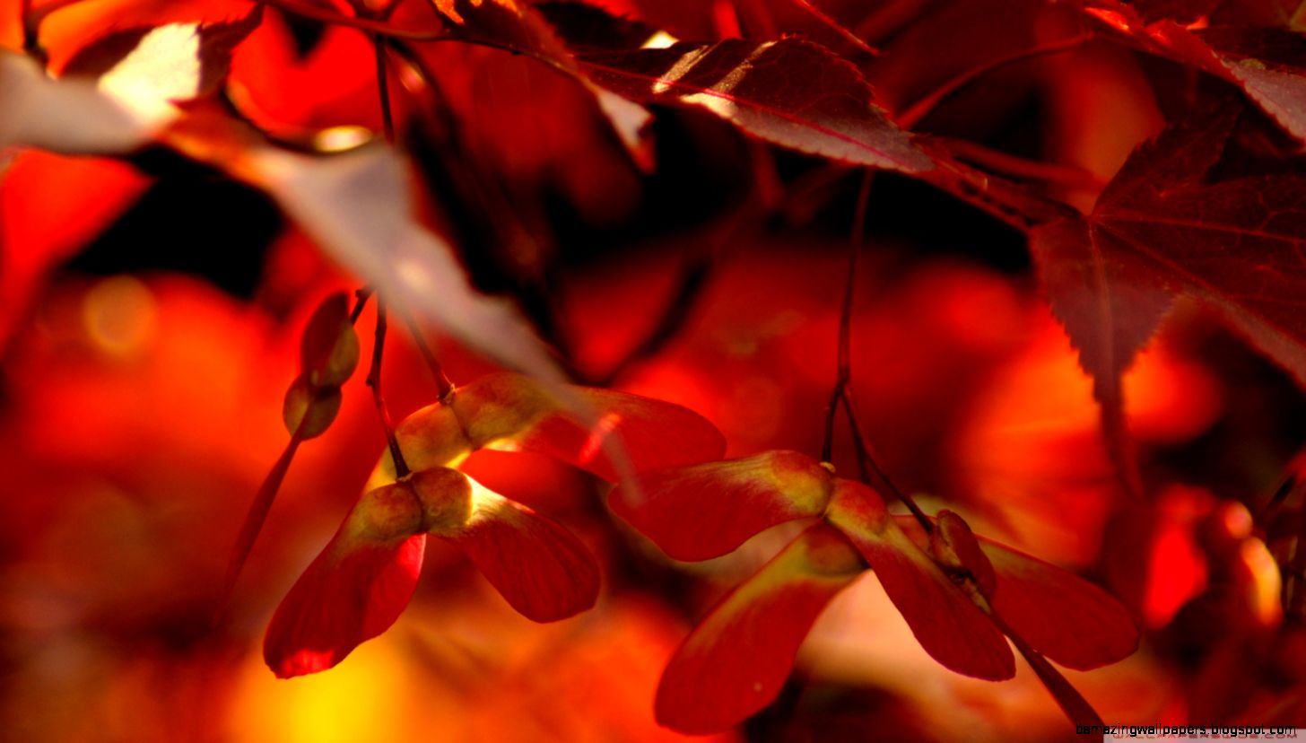 Red Autumn Leaves Close Up HD desktop wallpaper  High Definition