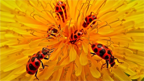 the Asian lady beetles searching for food in a dandelion