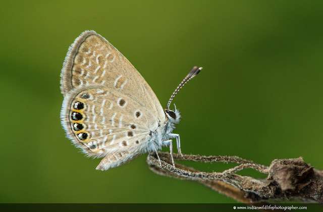 Grass Jewel, Chilades Trochylus, Butterfly, indian wildlife photographer, praveen g nair, wildlife photographer