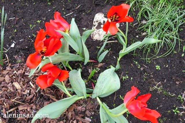 сорта тюльпанов, тюльпан, аленин сад, весенние луковичные, красный тюльпан, с полосатыми листьями, гигантский цветок, цветок 20 см в диаметре,