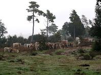 Grup de vaques pasturant a prop de la Boïga