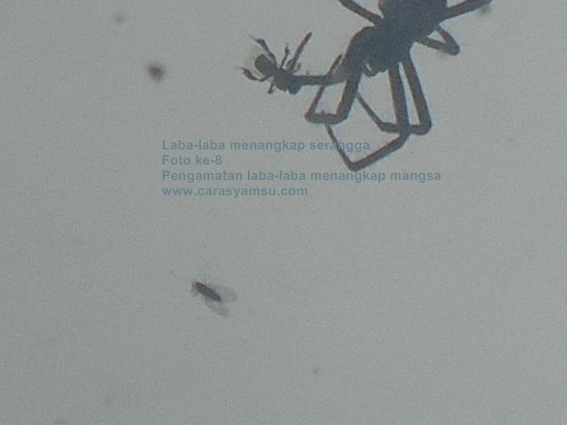 Foto Laba-laba menangkap serangga