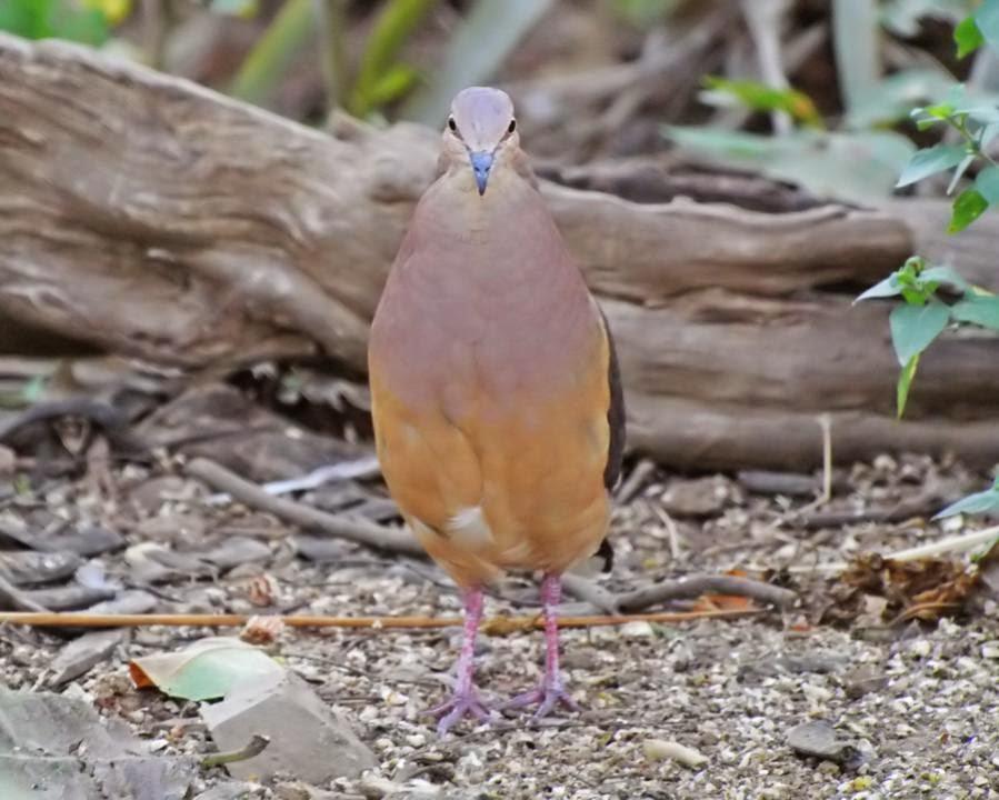 Ochre bellied dove