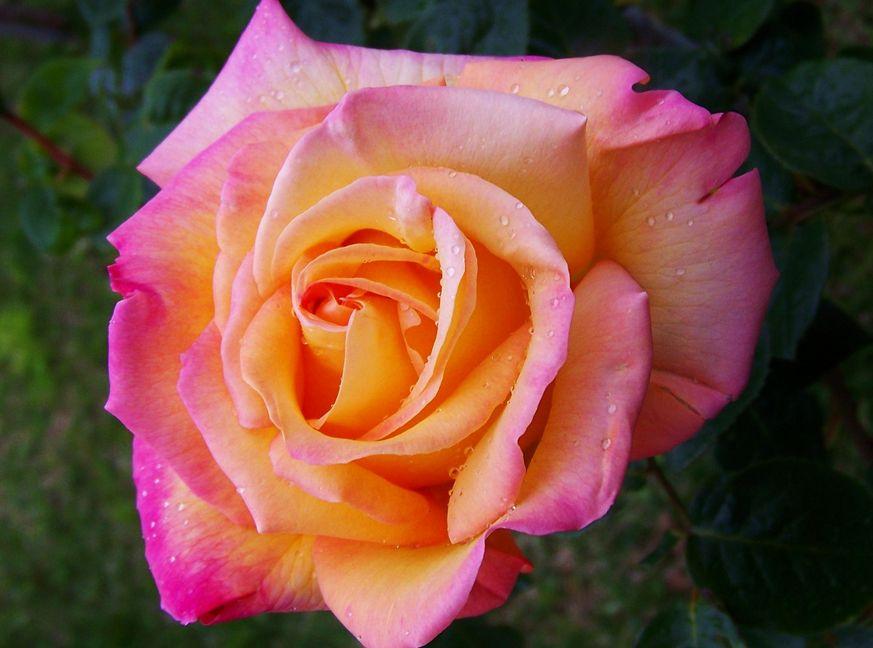 Fotos de flores rosa de color matizado l pinterest - Fotos de rosas de colores ...