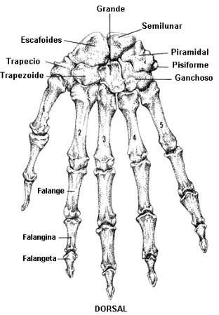 Imagen de los huesos de la mano (Vista dorsal)
