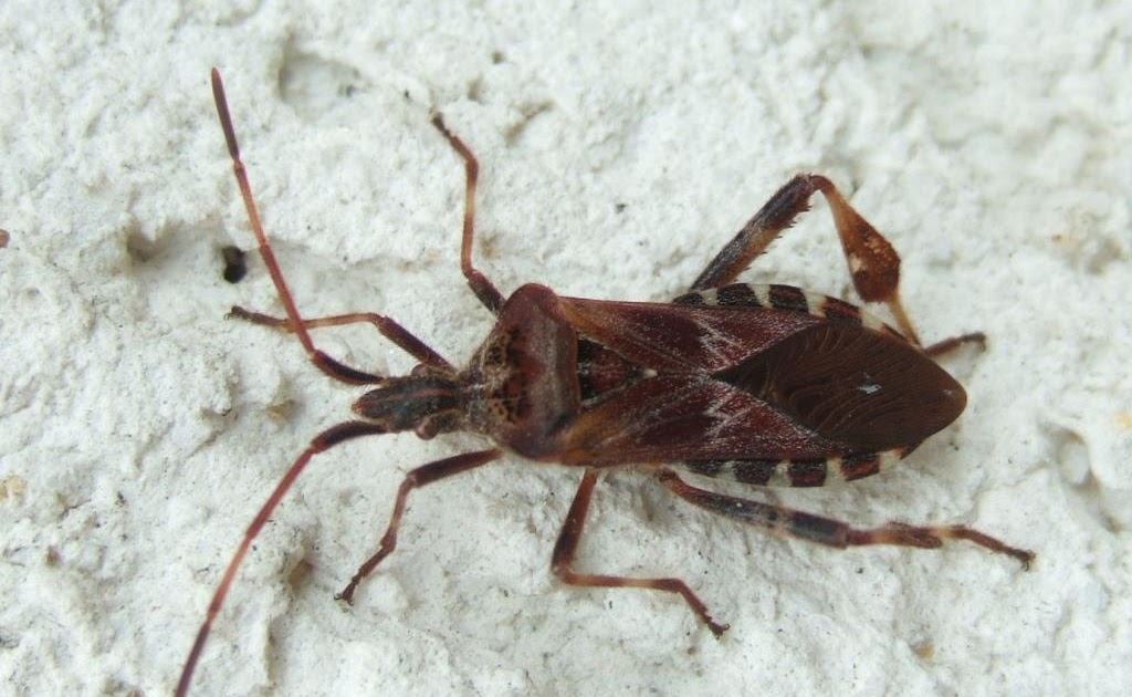 insekten resort amerikanische zapfenwanze leptoglossus occidentalis. Black Bedroom Furniture Sets. Home Design Ideas