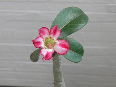 jardinagem; ROSA DO DESERTO, ADENIUM; plantas em varanda