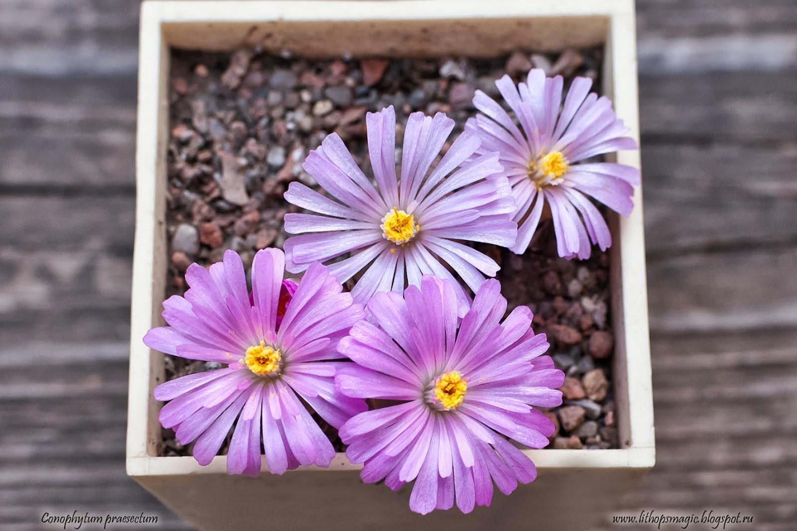 Lithops Magic Conophytum Praesectum Flowers
