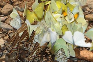 Common Albatross (Appias albina), Lemon Emigrant (Catopsila pomona), Common Gull (Cepora nerissa), Yellow Orange Tip (Ixias pyrene), Chain Swordtail (Graphium (Pathysa) aristeus hermocrates)