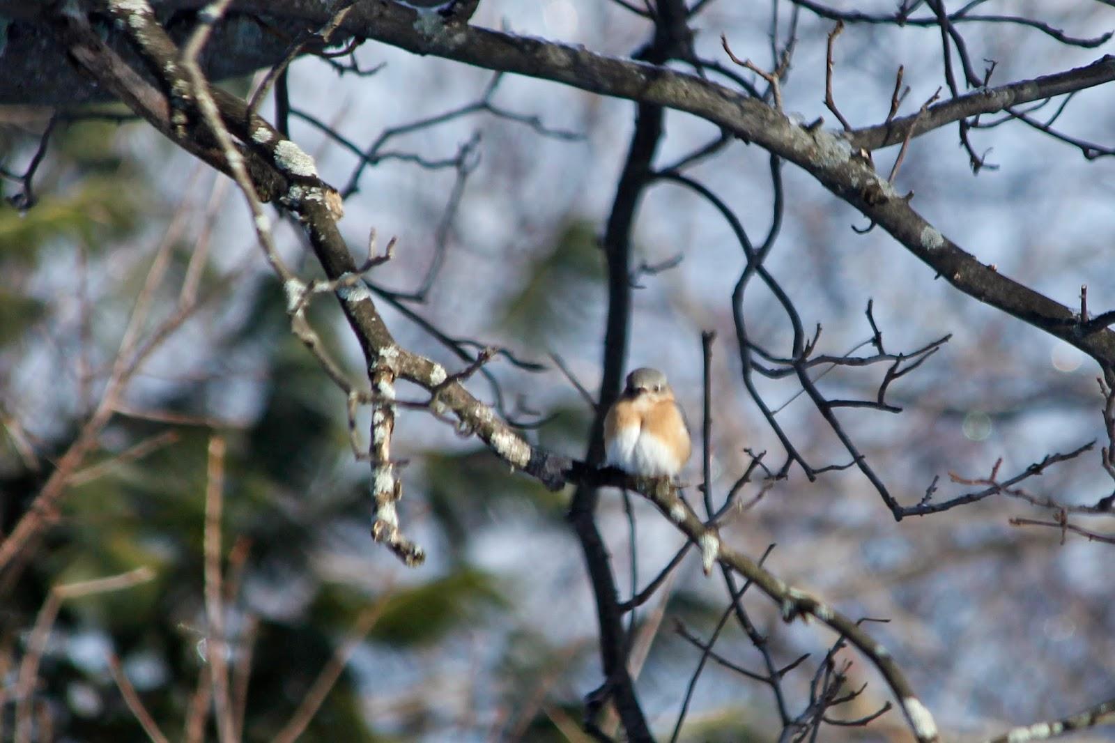 female bluebird first of the spring