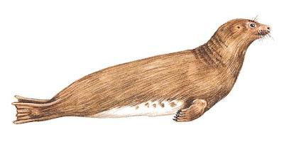 odobenidae extintos Imagotaria