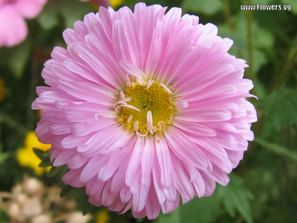 Flowers & Planets Aster Flowers Latest 2013