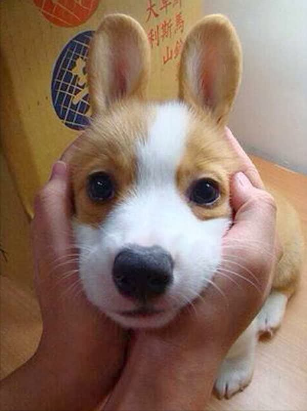 Cute dogs (50 pics), dog pictures, corgi puppy looks like bunny
