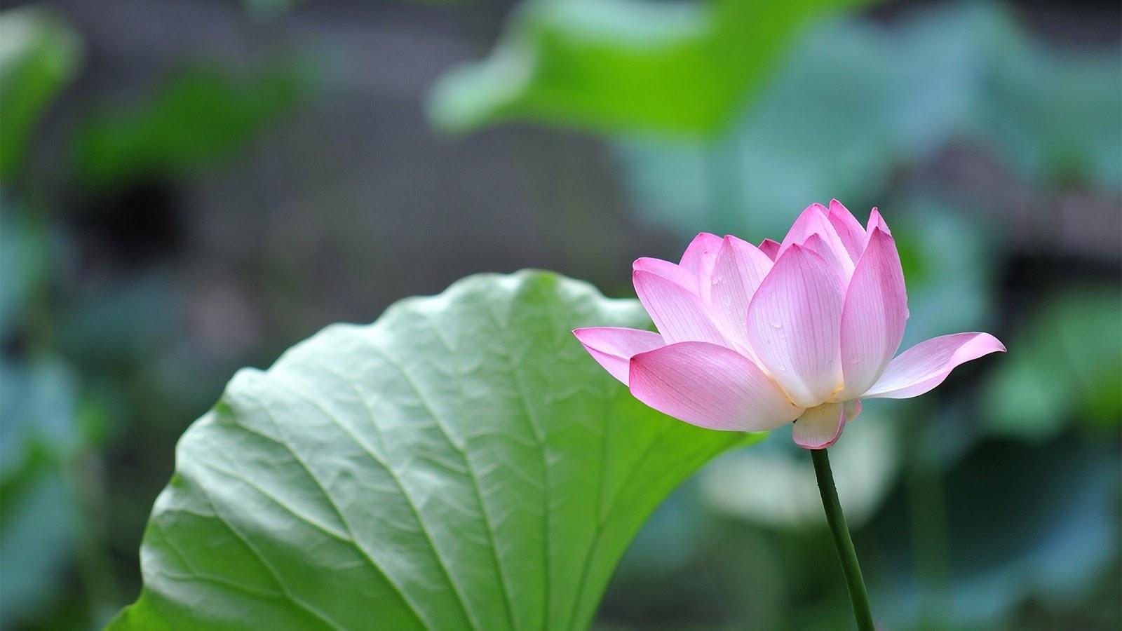 Lotus Flower Mystery Wallpaper