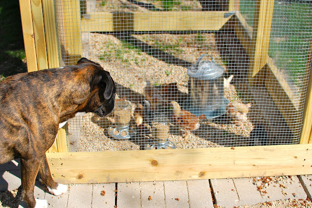 Chickens, Coop, chicks, backyard chickens, dog