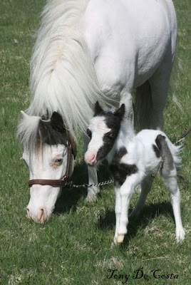 Einstein - The World's Smallest Horse Seen On www.coolpicturegallery.us