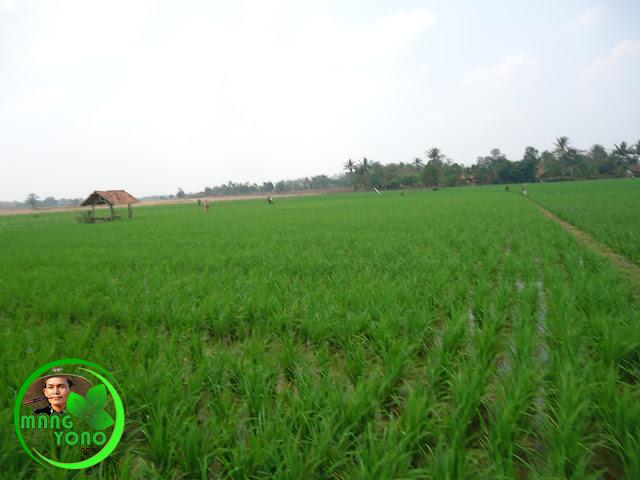 Tanaman padi di Cibandung, Dusun gardu, Pagaden Barat, Subang