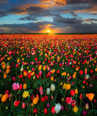 Bienvenidos al nuevo foro de apoyo a Noe #272 / 03.07.15 ~ 09.07.15 - Página 3 Fotos-gratis-de-flores-tulipanes-de-colores-free-colorful-tulips-photos-+(21)