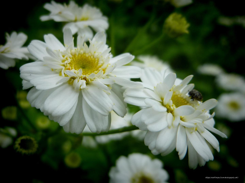 Mi espacio verde hierba de santa mar a tanacetum parthenium for Planta ornamental blanca nieves