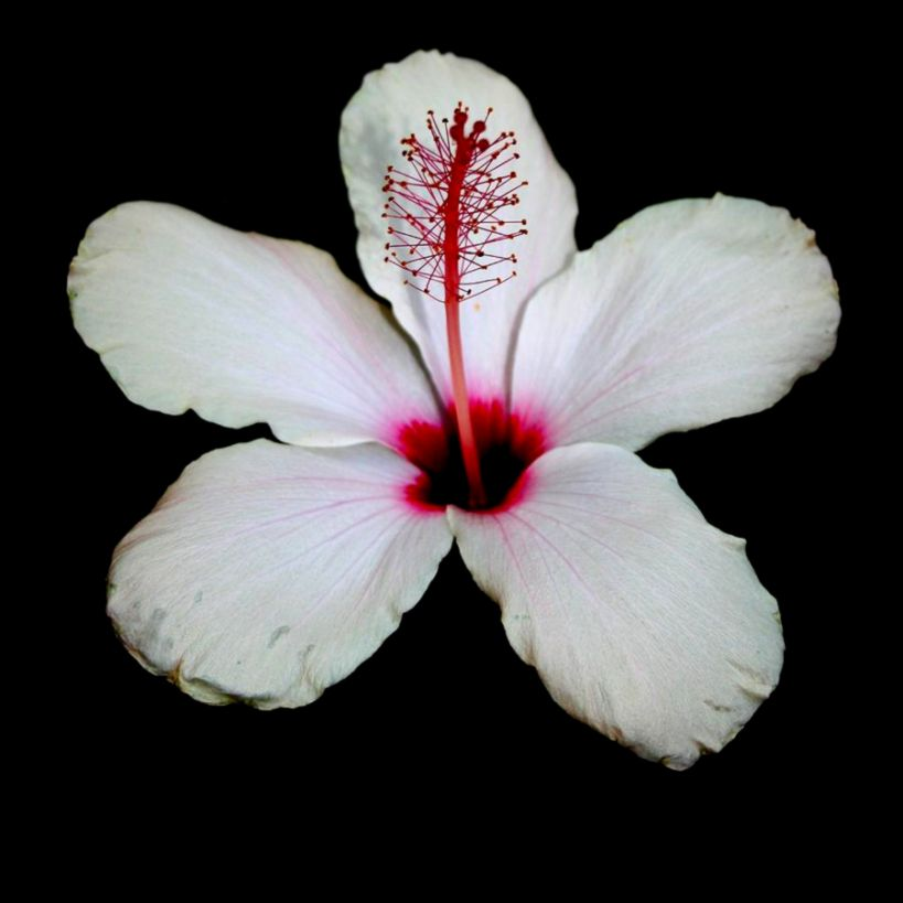 White Hibiscus Isolated On Black Background Photograph by Tracey