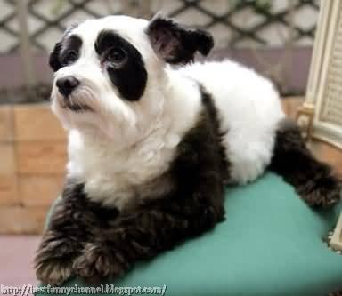 Panda dog.