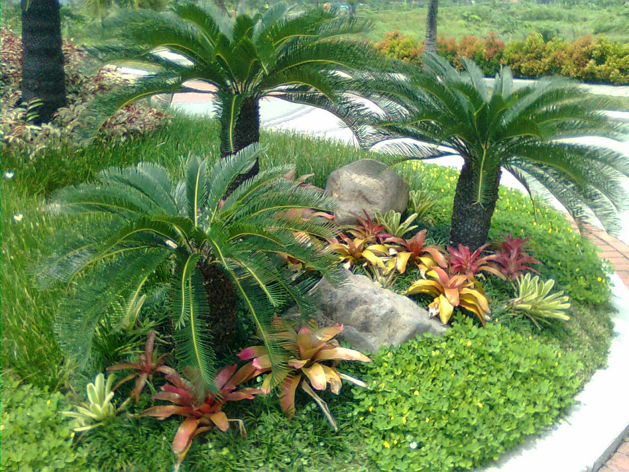 Jual pohon palem sikas (cicas) | suplier tanaman dan rumput, solusi pertamanan, jasa penanaman rumput dan pembuatan taman