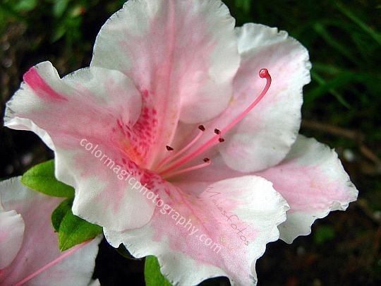 White-pink Azalea flower close-up