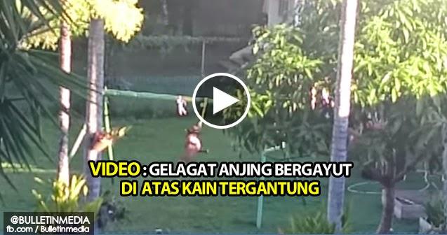 Video: Gelagat Anjing Bergayut Di Atas Kain Tergantung