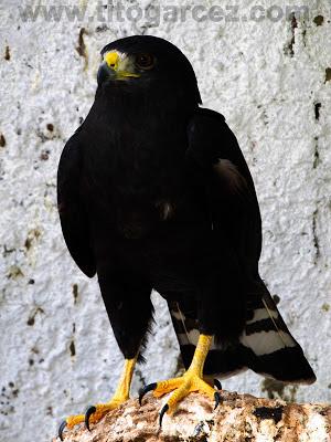 Gavião-preto (Buteo brachyurus) no Parque dos Falcões, em Sergipe