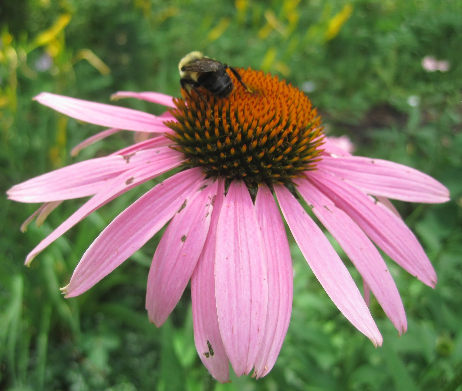 Behold The Coneflower