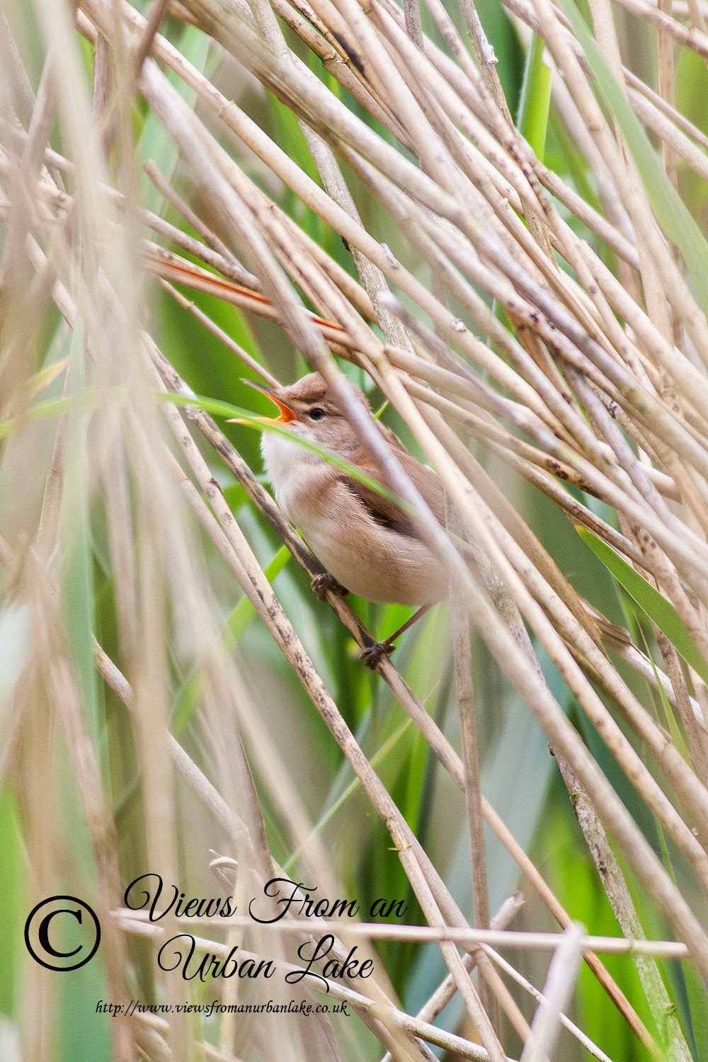 Reed Warbler - Lodge Lake, Milton Keynes