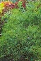 tanaman hias,saka asparagus plumosus,karakteristik,perawatan