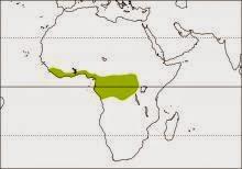 dwarf hornbill Lophoceros camurus