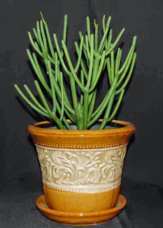 euphorbia plant care instructions