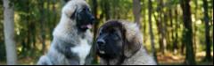 Кавказ хоньч нохой