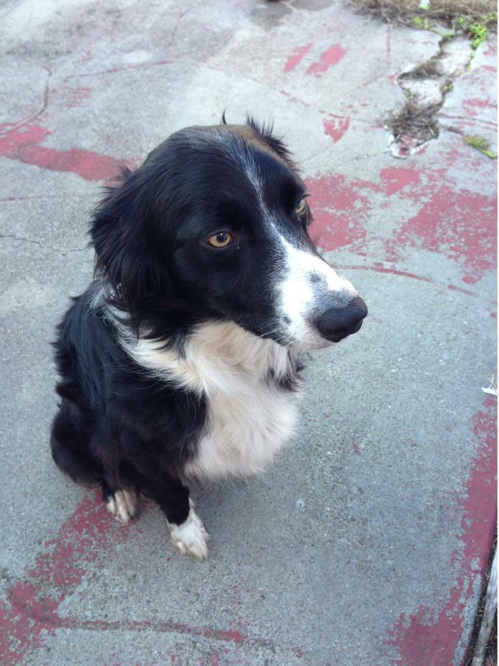 Lost Collie San Francisco