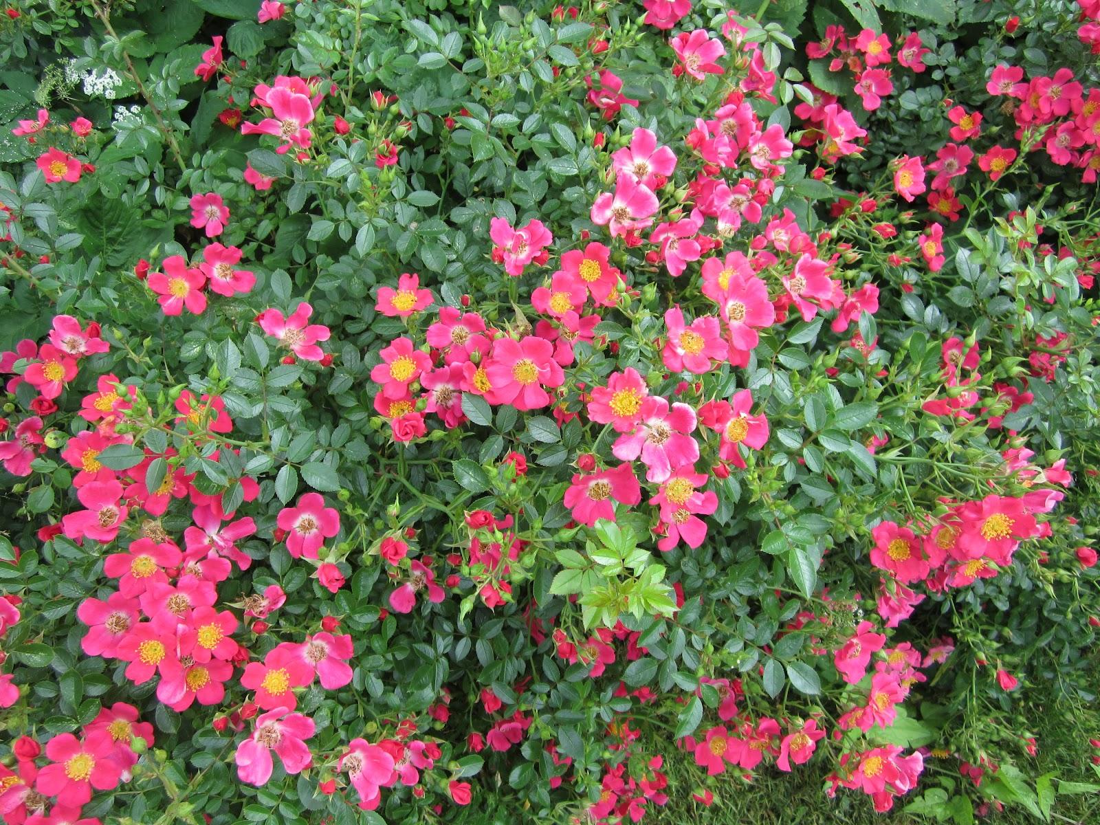 tommelise roser