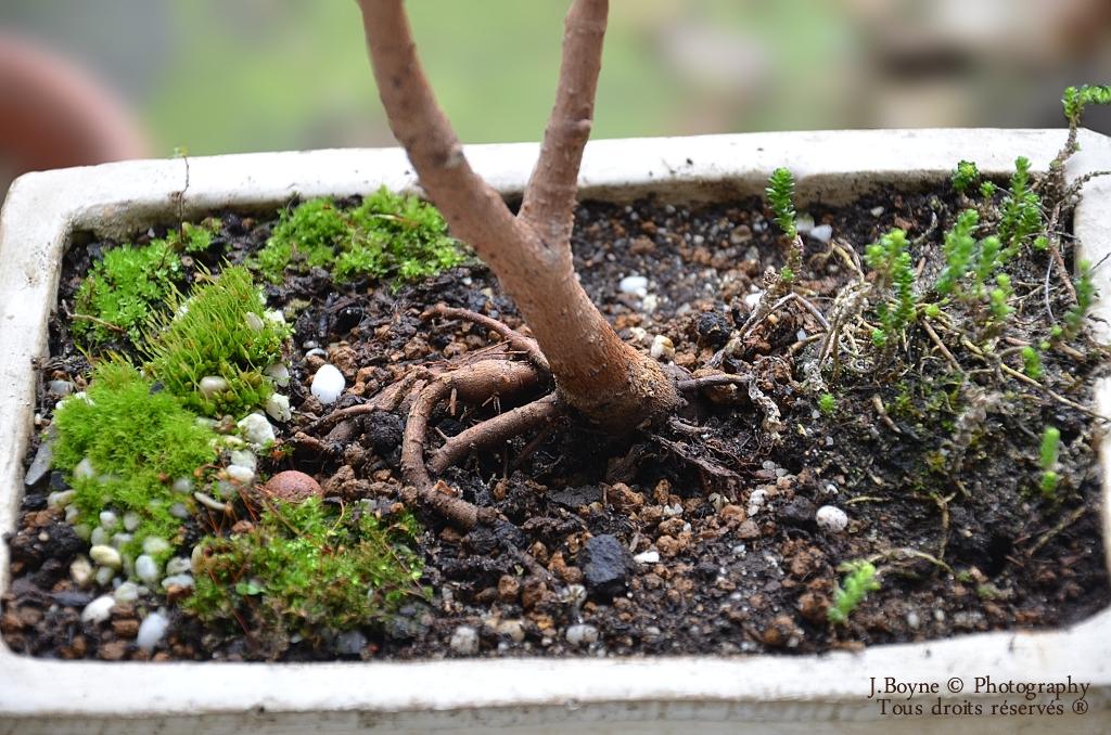 Mes plantes et bonsa mon premier bonsa - Comment faire un bonsai ...
