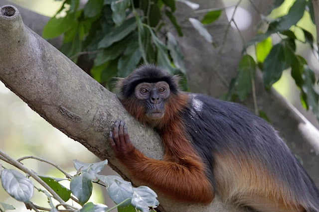 western red colobus Gambia