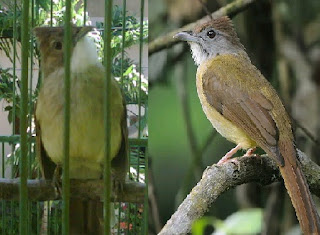 Gambar Aneka Burung Trucukan dan Tips Merawat