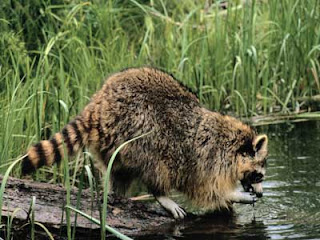 Mohbten september 2011 for Do raccoons eat fish