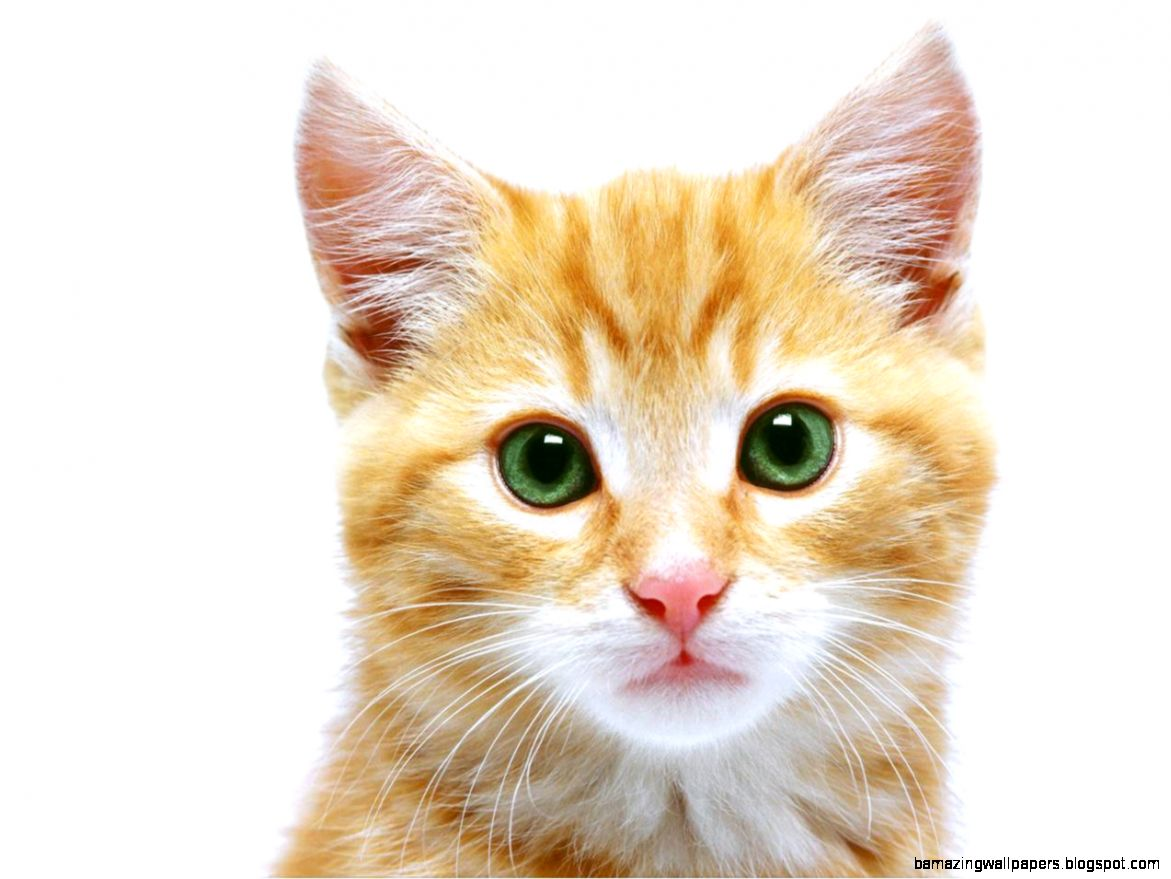 Cat Face Images   HD Wallpapers Pretty