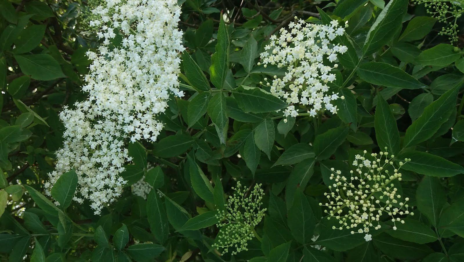 Napój (syrop) z kwiatów czarnego bzu – 5 prostych kroków