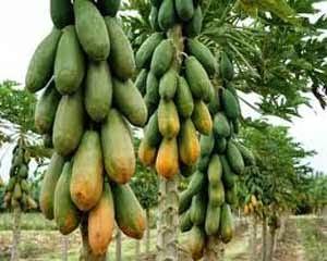 Pesquisas sobre o papaia